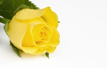 Beautiful yellow rose on white background