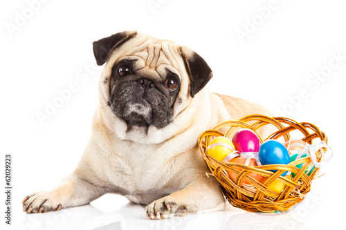 pug dog easter eggs  isolated on white background animal
