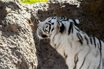Black and White Striped Tiger