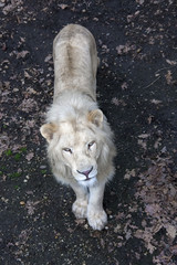 White South African lion (Panthera leo krugeri) male from top