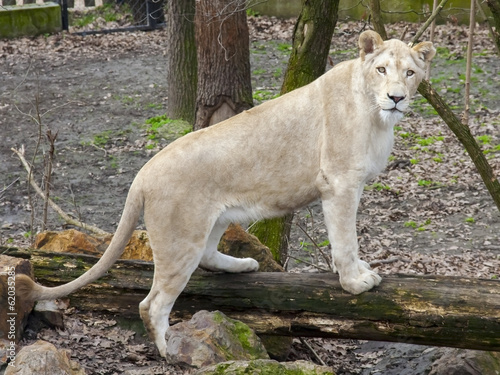 White South African lion (Panthera leo krugeri) female
