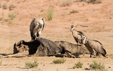 Vultures fighting at carcass for domination of the food in Kalah