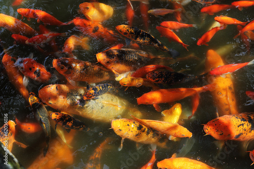 Beautiful Koi fish feeding