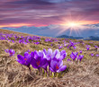 Field of blooming crocuses in the spring in the mountains.