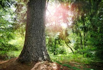 Baum Tanne im Gegenlicht Wald verwunschen Märchenwald