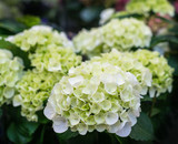 White blooming Hydrangea plants
