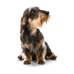 brown short hair dachshund dog