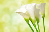 Fototapety calla lily flower