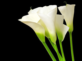 Calla lily flower on black background
