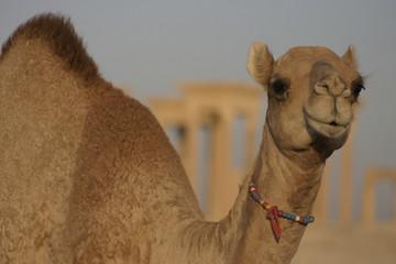 Baby Camel in Palmyra Syria