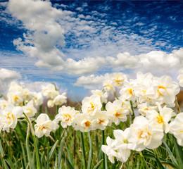 Frühlingserwachen: Leuchtende Narzissen mit blauem Himmel :)
