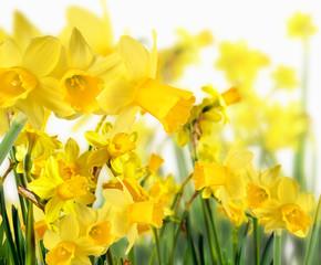 Frühlingserwachen: leuchtend-gelbe Osterglocken :)