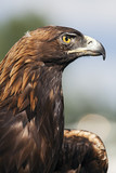 A Portrait of the Golden Eagle