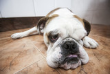 English bulldog lying