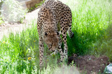 Leopard on a background of green grass