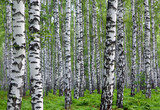 nice summer birch forest