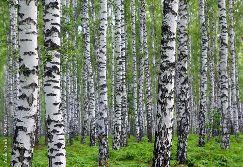 obraz PCV ładny brzozowy las lato