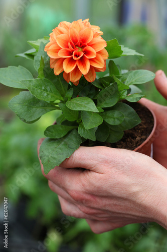 Seedling of dahlia