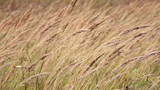 Grass stalk constantly moving along with the breeze of the air