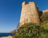 A flowering Aloe in front of the Citadel wall at Calvi in Corsic