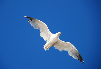 Beautiful seagull