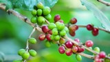 Closeup Ripe Coffee cherries beans on a coffea tree branch