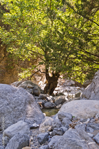 Olive tree by water stream through rocky soil of Samaria gorge