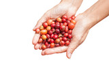 Red berries coffee beans on agriculturist hand isolate