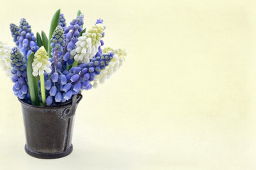 Blue and white grape hyacinth