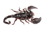 Emperor Scorpion (Pandinus imperator) isolated on white