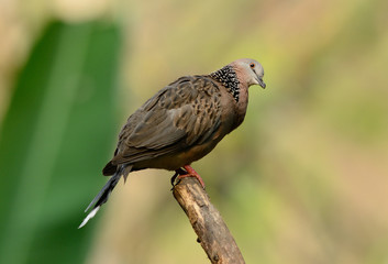 sptted dove
