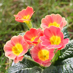 primula in giardino_ fiore