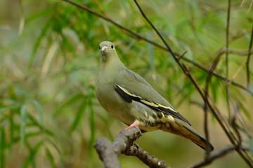 female Pink-necked Green-Pigeon (Treron vernans)