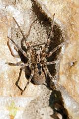 araignée passant sur une pierre