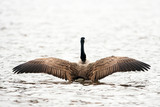 Canadian goose flapping wings in preflight
