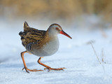 Water Rail on Snow