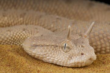 Arabian horned viper / Cerastes gasperettii