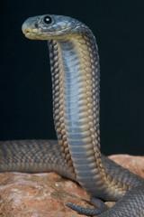 Arabian cobra / Naja arabica
