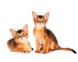 Two abyssinian kittens portrait