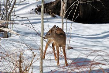 Fawn Lookiing to Feed in Winter