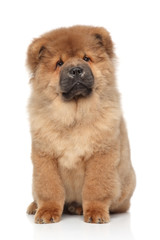 Brown Chow chow puppy