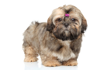 Shih tzu portrait on white background