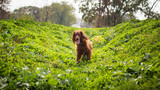 Happy Irish setter
