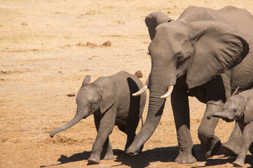 Playful baby elephant, walking it's mother