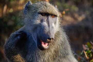 Baboon saying hi