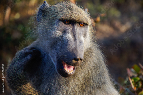 Baboon saying hi
