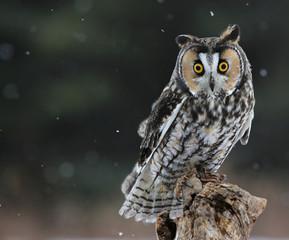 Long-eared Owl Sitting