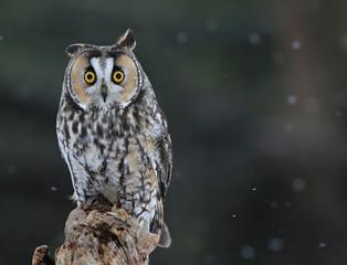 Posing Long-eared Owl