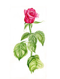 Watercolor illustration of a beautiful red rose flower