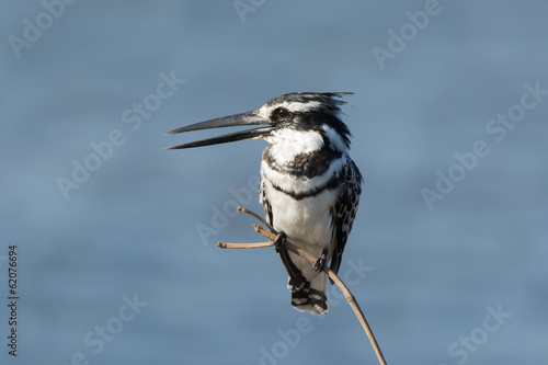 Pied Kingfisher (Ceryle rudis) chattering on a branch